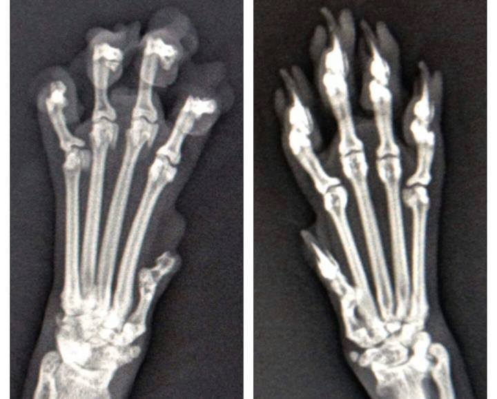 X,Rays Tell The Story! What Really Happens To A Declawed Cat